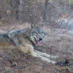 Охотник увидел волка, попавшего в капкан. Дальше он сделал то, что не рискнул бы никто!